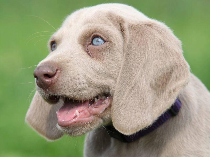 Als Welpe hat der schöne Weimaraner himmelblaue Augen – Bild: Shutterstock / Zuzule