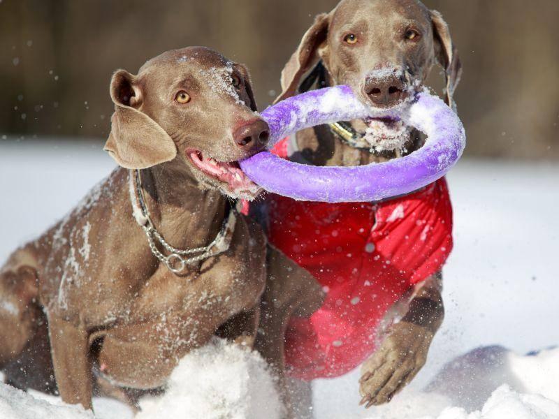 Als Jagd- und Vorstehhund ist der Weimaraner ein Profi im Apportieren – Bild: Shutterstock / DragoNika