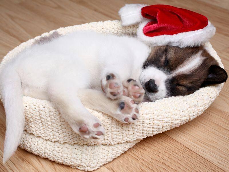 Und dieser kleine Hund findet, dass die Feiertage um Weihnachten perfekt sind, um mal auszuschlafen – Bild: Shutterstock / Ostanina Ekaterina