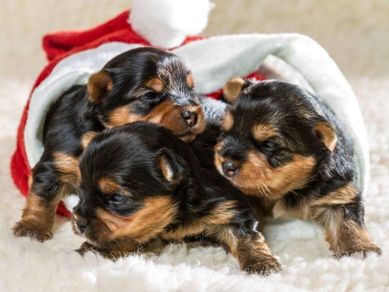 Weihnachtszeit ist Geschwisterzeit! Jedenfalls, wenn man diese Welpen fragt – Bild: Shutterstock / Shaiith