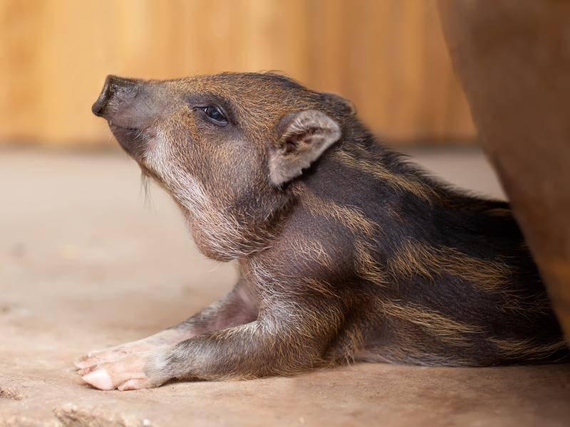 Wildschweine feiern Silvester ganz schön wild – Bild: Shutterstock / Coffeemill