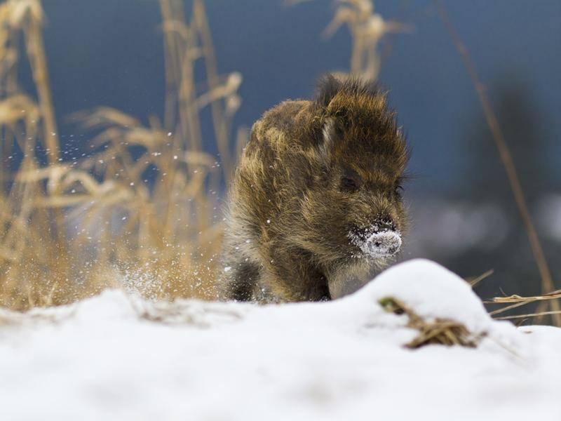 Halbstarkes Wildschwein auf der Suche nach dem Glück – Bild: Shutterstock / Peter Krejzl