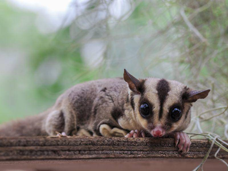Ein kleines Päuschen auf Kurzkopfgleitbeutler-Art – Bild: Shutterstock / rujithai