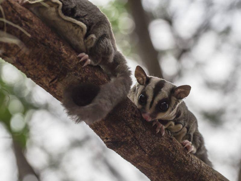 Klettern zu zweit: Das macht Kurzkopfgleitbeutlern Spaß – Bild: Shutterstock / rujithai