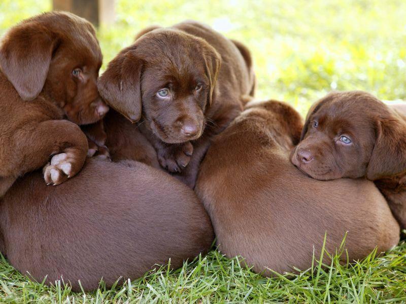 Und eine ganze schokobraune Labrador-Kuschelbande – Bild: Shutterstock / holbox