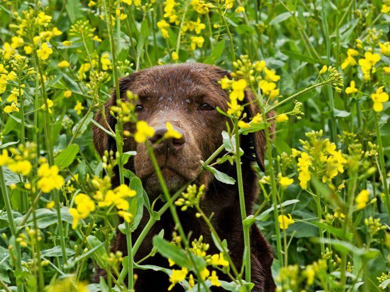 Beobachtungsposten in der Blumenwiese: Der letzte schokobraune Labrador in unserer Runde – Bild: Shutterstock / Sam Strickler