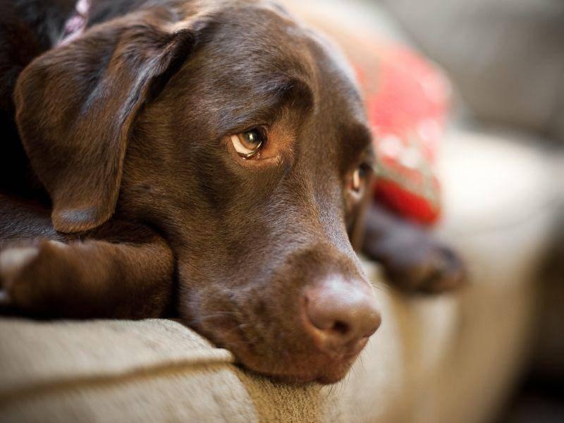 Schokobrauner Labrador nach dem Ausflug: Ausruhen ist wichtig – Bild: Shutterstock / Sam Strickler