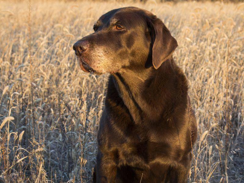 Sonnige Aussicht für einen schokobraunen Labrador – Bild: Shutterstock / Gerald Marella