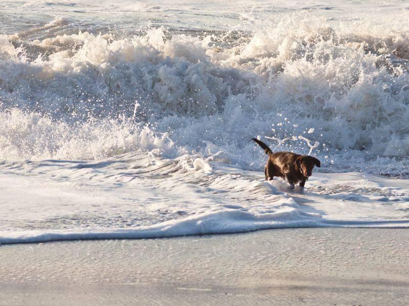 Schokobrauner Labrador tobt im Meer: So sieht Lebensfreude aus – Bild: Shutterstock / Mariusz S. Jurgielewicz