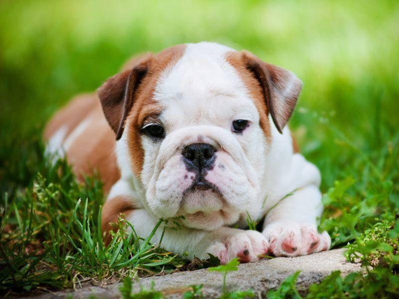 Dem treuen Hundeblick dieser kleinen Englischen Bulldogge kann sicher keiner widerstehen – Bild: Shutterstock / otsphoto