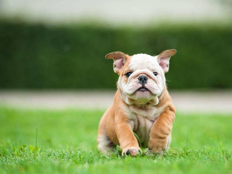 Noch jemand, der diese bezaubernde Englische Bulldogge vom Fleck weg adoptieren würde? – Bild: Shutterstock / Rita Kochmarjova