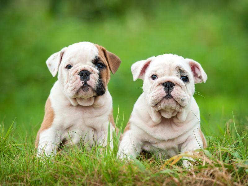 englische-bulldoggen-hunde-sitzena-auf-der-wiese