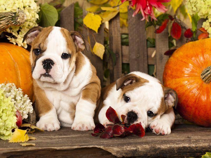 Posieren im herbstlichen Ambiente, das machen Englische Bulldoggen doch gern! – Bild: Shutterstock / otsphoto