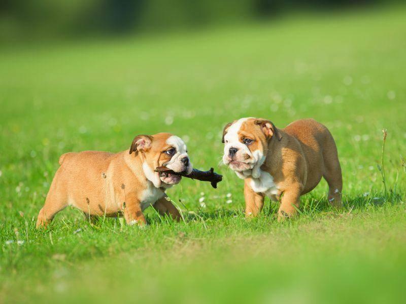 Und können ein bisschen Stöckchen spielen – natürlich ganz in Ruhe, wie es sich für Englische Bulldoggen gehört – Bild: Shutterstock / Tatiana Katsai