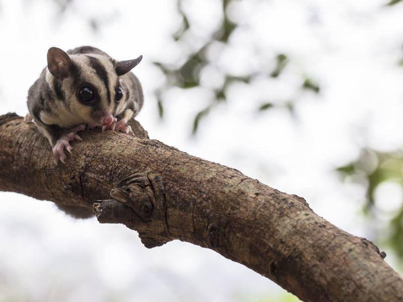 Süßester Baumbewohner der Welt? Der Kurzkopfgleitbeutler – Bild: Shutterstock / rujithai