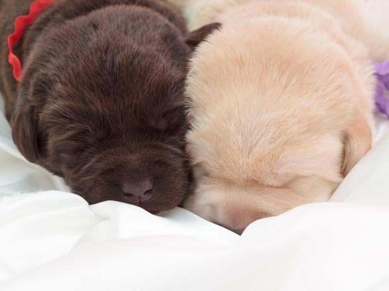 Ob hell oder schokobraun: Schön sind alle Labradore – Bild: Shutterstock / ARTSILENSE