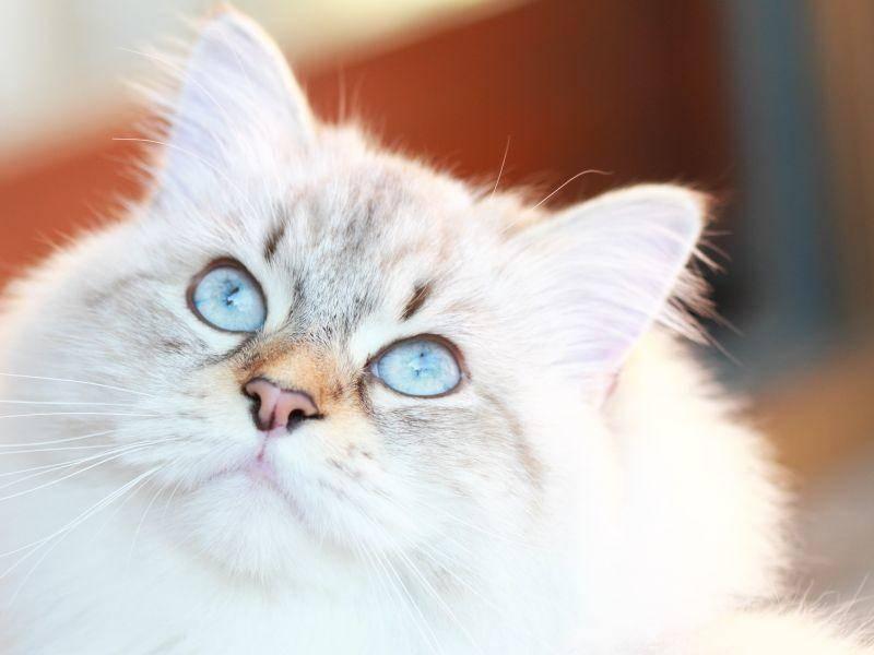 Mit ihrer neugierigen, verspielten und menschenbezogenen Art ist die Neva Masquarade eine tolle Familienkatze – Bild: Shutterstock / Massimo Cattaneo