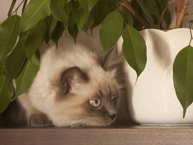 Beim Versteckenspielen lässt sich die schöne Neva Masquarade immer wieder etwas neues einfallen – Bild: Shutterstock / Pavel Szabo