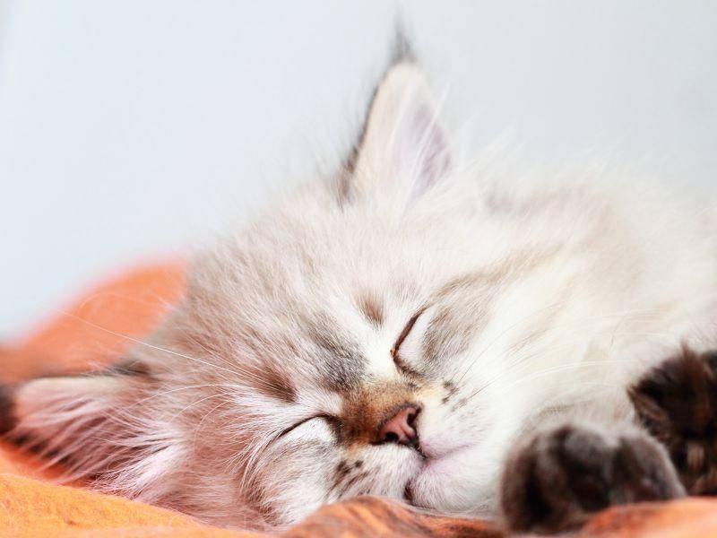 Im Schlaf mehr Engelchen als Katze: Die Neva Masquarade – Bild: Shutterstock / Massimo Cattaneo