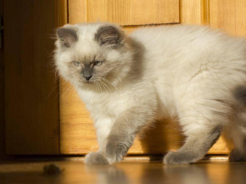 Ein schönes, stolzes Tier: Die Neva Masquarade – Bild: Shutterstock / Pavel Szabo