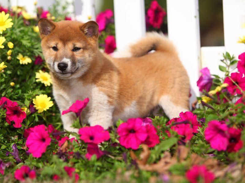 Shiba im Blumenparadis: Der schöne Hund liebt seinen Freigang – Bild: Shutterstock / Lenkadan