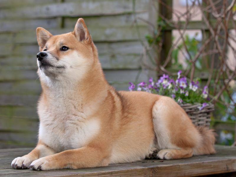 Der elegante Hund wird auch in den USA gezüchtet. Dort sind Vertreter der Rasse meist etwas größer – Bild: Shutterstock / Erik Lam