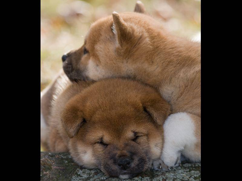 Sein dichtes flauschiges Fell macht den Shiba unverwechselbar – Bild: Shutterstock / Lenkadan