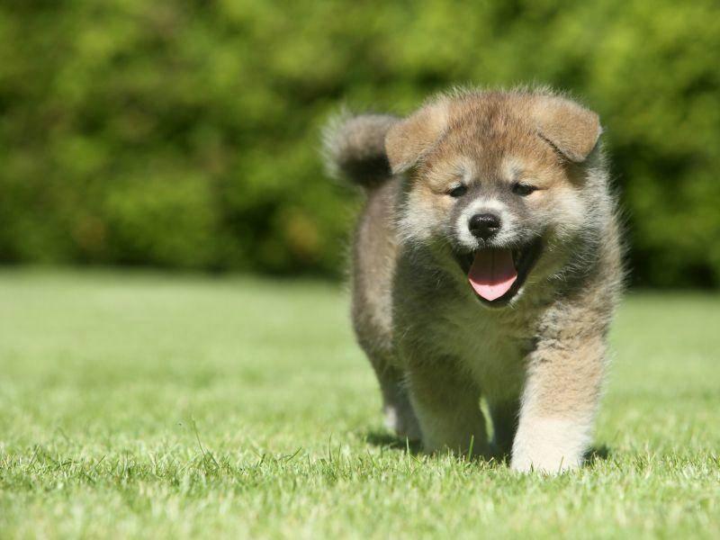 Und nun ist es an der Zeit für einen schönen Hundespaziergang! Viel Spaß, kleiner Shiba! – Bild: Shutterstock / Jagodka
