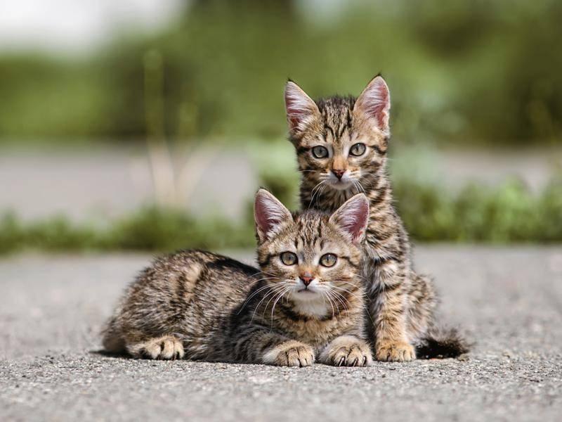 Unkastriert vermehren sich freilaufende Katzen schnell – eine Kastrationspflicht kann dagegen helfen – Shutterstock / Anna Tyurina