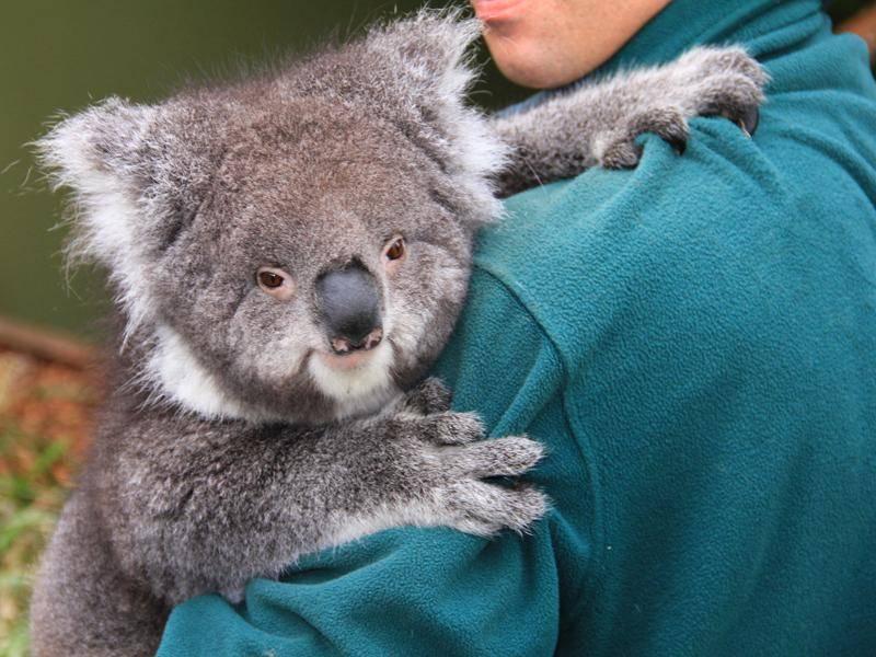 Zahme Koalas mögen menschliche Nähe sehr gern – Bild: Shutterstock / Flash-ka
