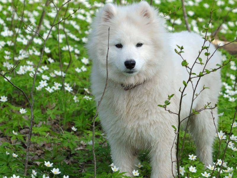 Entspannter Spaziergang mit einem Samojede: Jagdtrieb hat dieser Hund kaum – Bild: Shutterstock / Abramova Kseniya