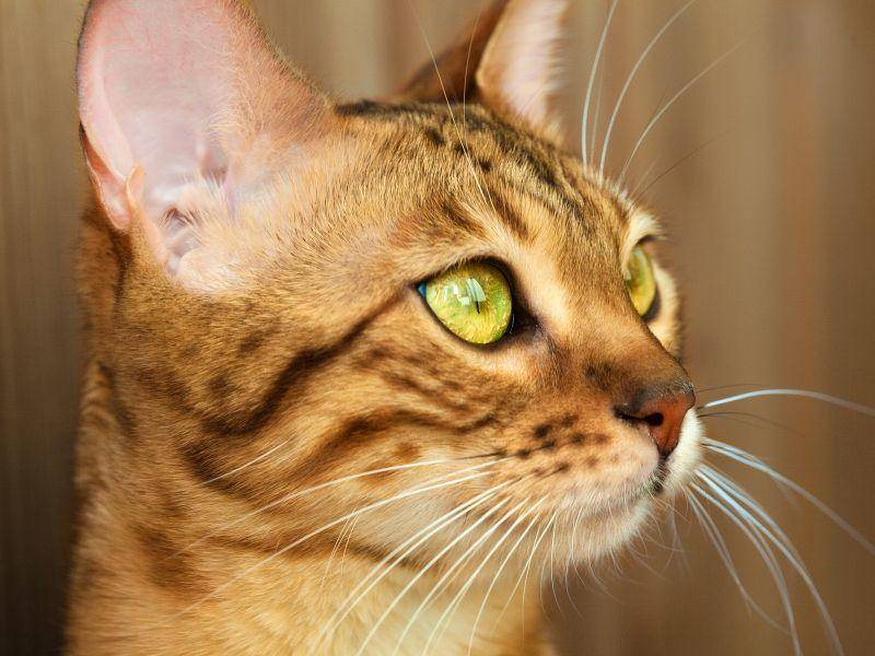 """Platz 2: Auf """"Tiger"""" hören Katzen doch gerne – Bild: Shutterstock / Shvaygert Ekaterina"""