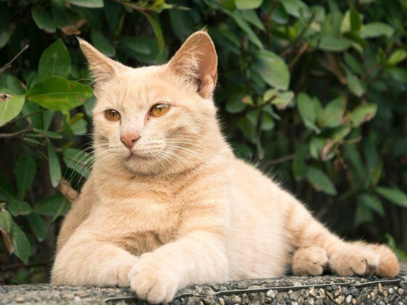 """Platz 3: """"Leo"""" ist ein königlicher und sehr schöner Katzenname – Bild: Shutterstock / elwynn"""