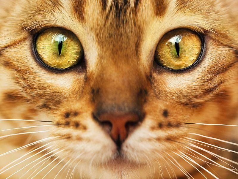 """Schön und exotisch ist der Katzenname """"Nala"""". Ihm gehört Platz 7 – Bild: Shutterstock / Shvaygert Ekaterina"""