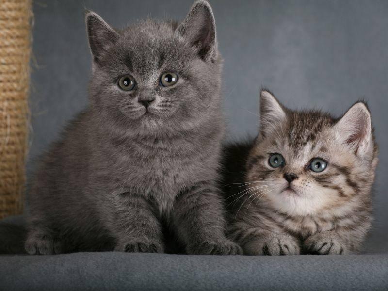 Wie süß: Zwei neugierige Britisch Kurzhaar Geschwister – Bild: Shutterstock / Onishchenko Natalya