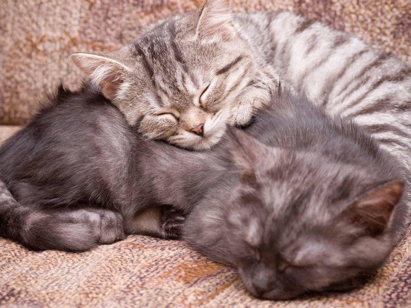 Und diese Baby-Britisch-Kurzhaar-Katzen sind ganz müde vom vielen Spielen – Bild: Shutterstock / Forewer