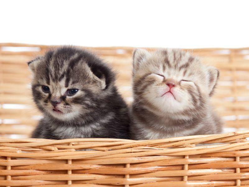 Spieglein, Spieglein an der Wand, welches sind die niedlichsten Britisch Kurzhaar Katzen im ganzen Land? – Bild: Shutterstock / Oksana Kuzmina