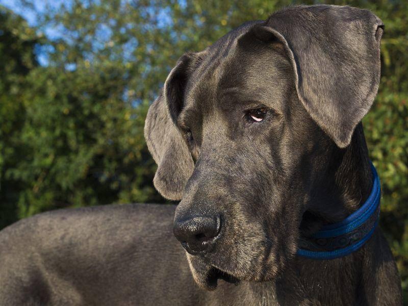 Die Deutsche Dogge wird bis zu 80 cm groß und um die 90 kg schwer. Trotzdem ist sie edel und elegant – Bild: Shutterstock / msgrafixx