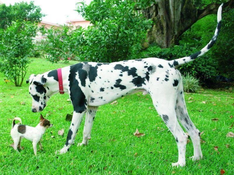Deutsche Dogge trifft Chihuahua: Wahnsinn, dieser Größenunterschied – Bild: Shutterstock / pixshots
