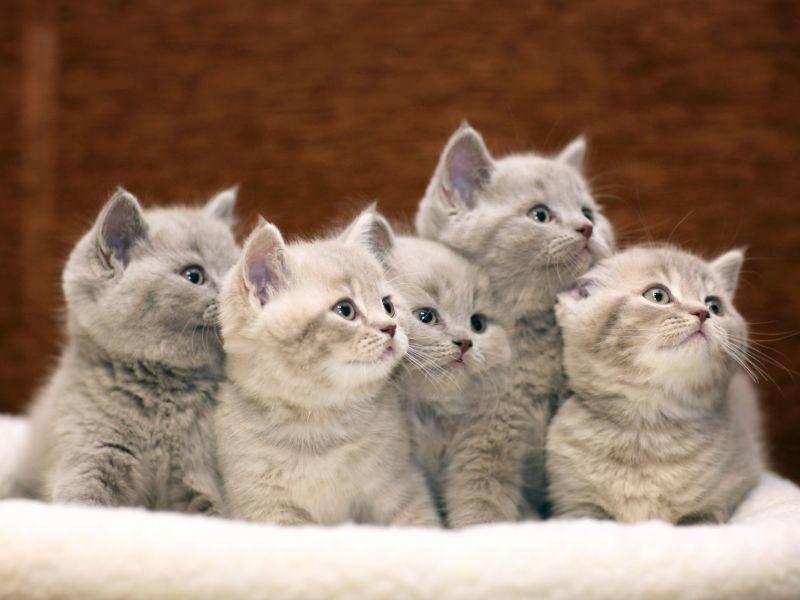 Ein Körbchen mit Britisch Kurzhaar-Geschwistern. Welches würden Sie sich aussuchen? – Bild: Shutterstock / Kichigin