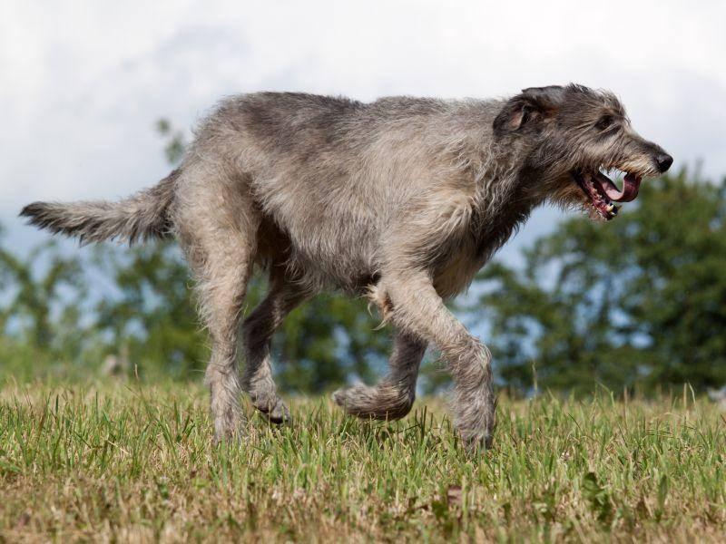 Sie lieben es zu Rennen: Als Windhunde brauchen Irische Wolfshunde viel Platz und viel Natur – Bild: Shutterstock / Vera Zinkova