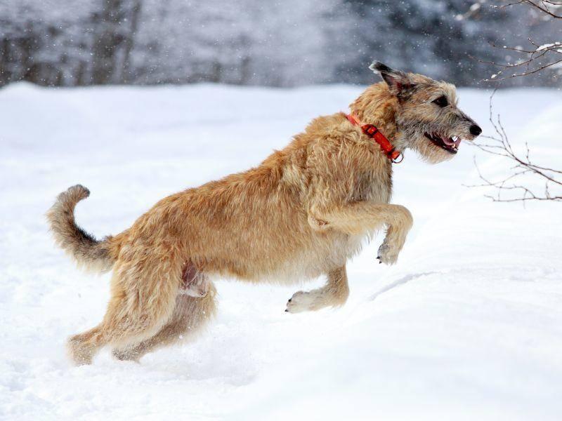 Und zum Schluss: Ein Irischer Wolfshund, bei seiner lieblingsbeschäftigung, dem Rennen. Los geht's! – Bild: Shutterstock / DragoNika