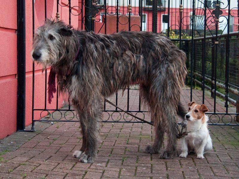 Meist sind sanftmütig Irische Wolfshunde aber leichter erziehbar als so manche kleine Hunderasse – Bild: Shutterstock / Dmussman