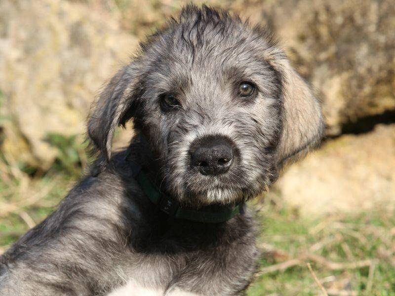Die treuen Augen der Irischen Wolfshunde trügen nicht: Er ist seinen Besitzern ein liebevoller und wunderbarer Freund – Bild: Shutterstock / Zuzule