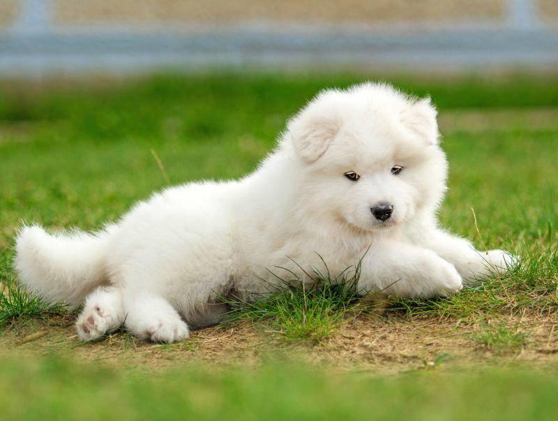 Mit seinem reinweißen Fell und den treuen Augen ist der Samojede ein tierisch schöner Hund – Bild: Shutterstock / Rita Kochmarjova