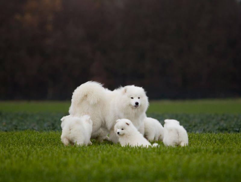 Und so auf einem süßen Samojeden-Familienfoto – Bild: Shutterstock / Ewa Studio