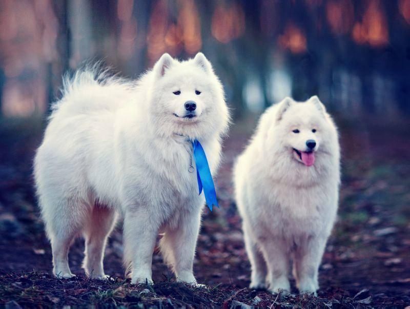 Einst als Schlittenhund gezüchtet, wird der Samojede heute meist als Schlitten- und Familienhund gehalten – Bild: Shutterstock / TatyanaPanova