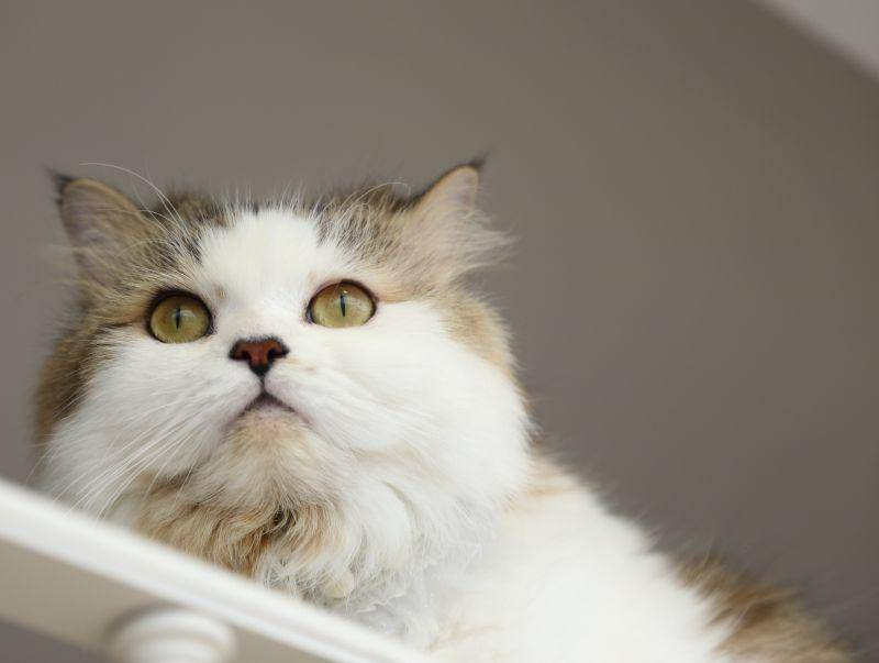 Lucy hat es auf Platz 4 der beliebtesten Katzennamen geschafft – Bild: Shutterstock / kimberrywood
