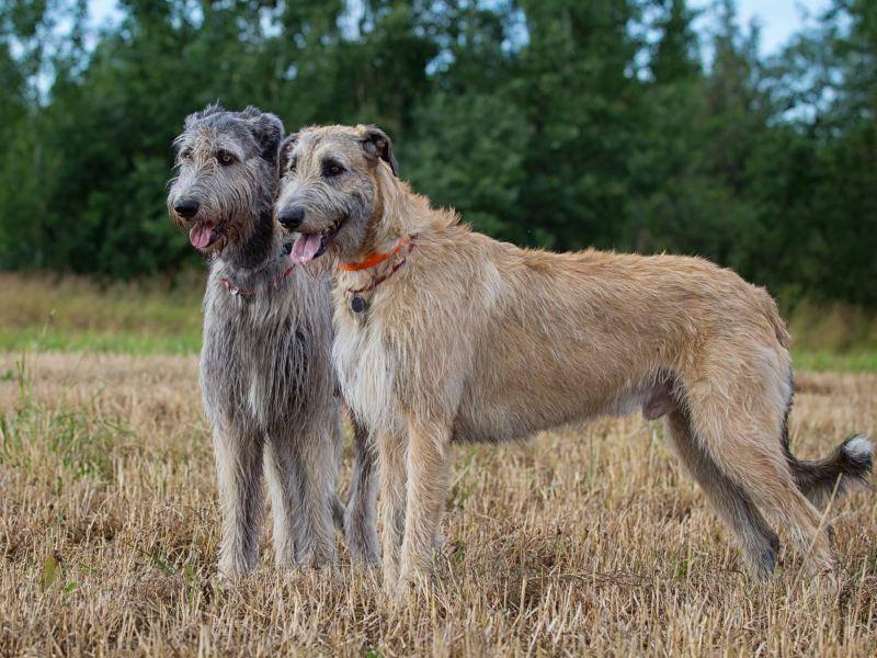 Nicht nur mit Hunden, auch mit anderen Haustieren verstehen sich Irische Wolfshunde normalerweise gut – Bild: Shutterstock / DragoNika