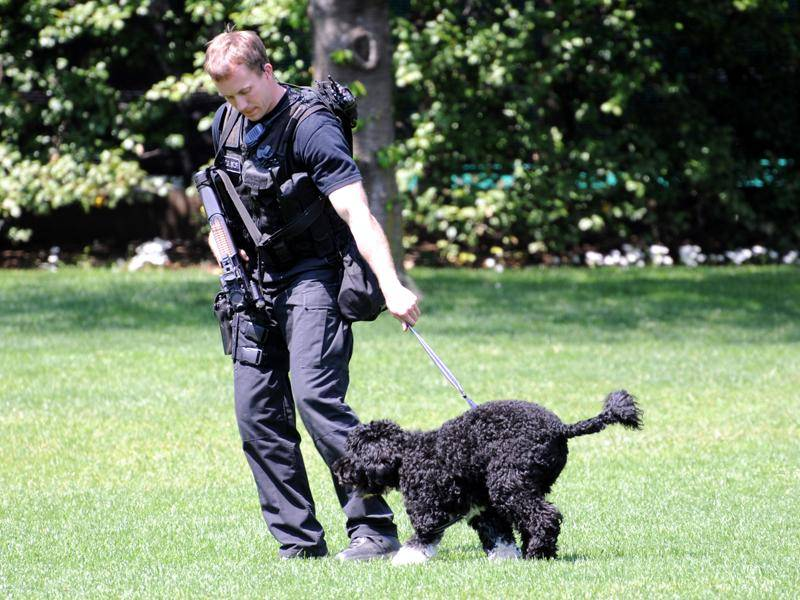 """Der wohl bekannteste Portugiesische Wasserhund ist """"First Dog"""" Bo von US-Präsident Barack Obama – Bild: Shutterstock / Frontpage"""